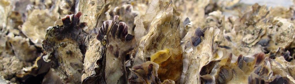 Oysters up close